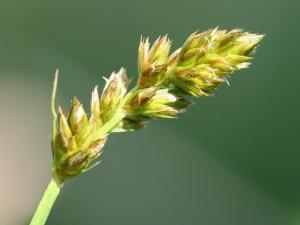 Carex_vulpina