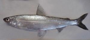 Coregonus albula