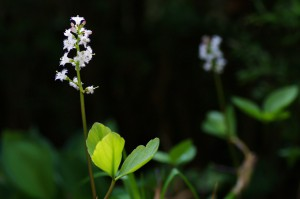 Menyanthes trifoliata