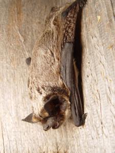 Vespertilio murinus
