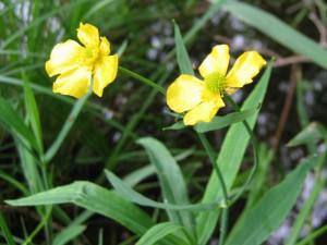 Ranunculus_lingua